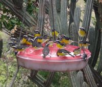 Bananaquits at the Tourist Trap feeding station